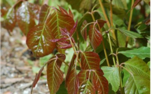 Poison ivy with red leaves